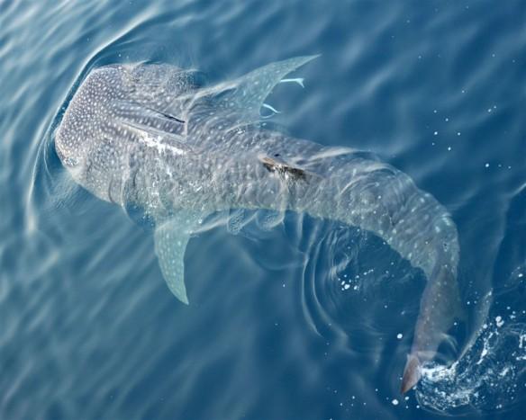 Whale sharks Seychelles