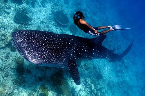 Shark Whale Maldives