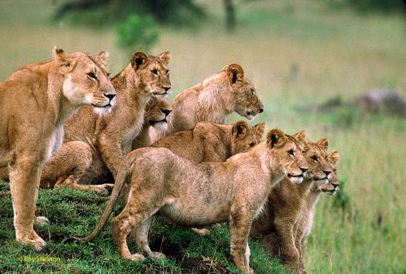 serengeti.lions