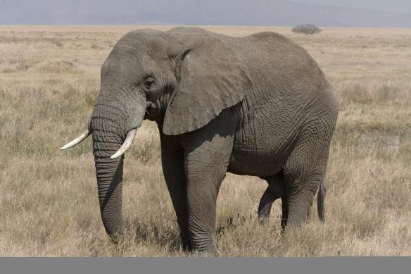 serengeti elephant