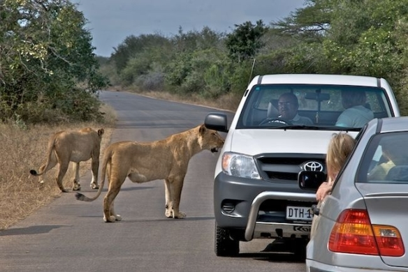 Lions crossing the road