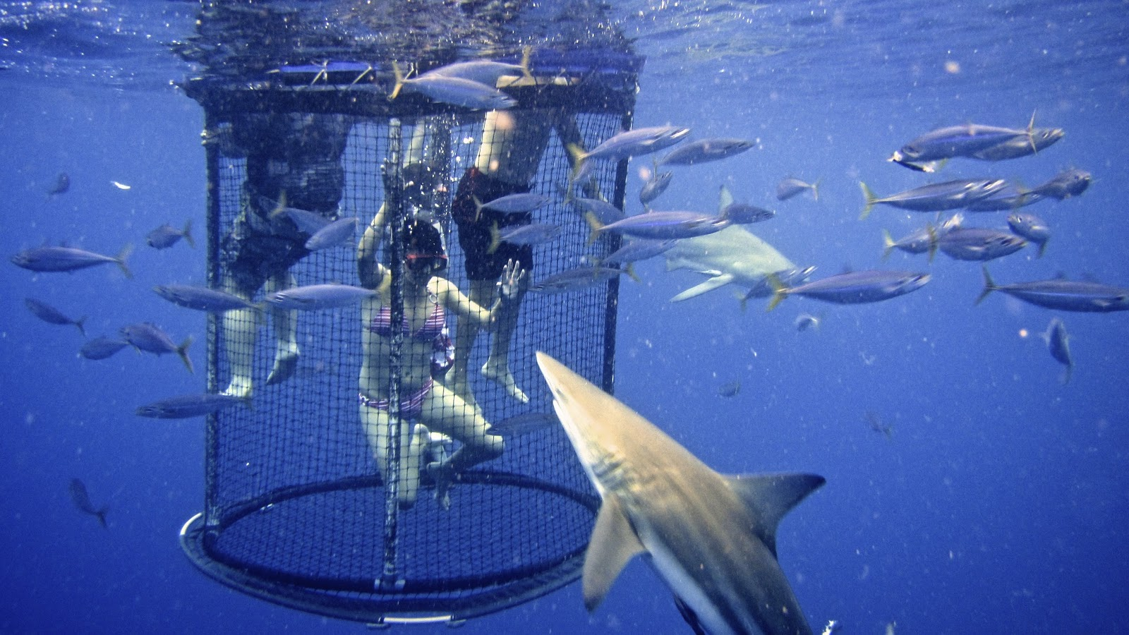 Shark Cage Diving South Beach Miami