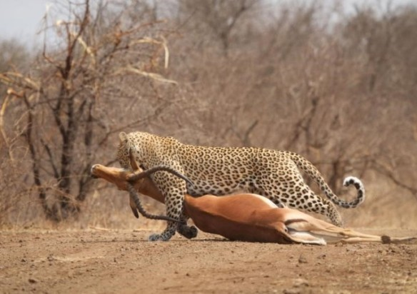 perfect catch kruger park
